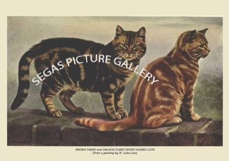 Fine art print of the BROWN TABBY and ORANGE TABBY SHORT-HAIRED CATS (From a painting by W. Luker,Jun) by Frances Simpson (1903)
